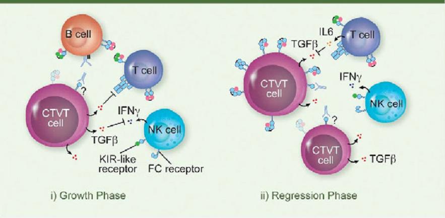 transmissable cancer CTVT large